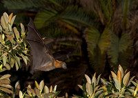Flying Foxes at the Botanic Gardens